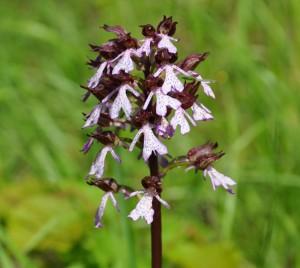 Le orchidee dell'Alta Langa – domenica 1 maggio